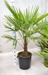 Trachycarpus fortunei - 9-10 anni - h115-140cm - Codice: 10030