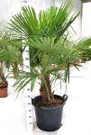 Trachycarpus fortunei - 10-12 anni - h140-170cm - Codice: 10035