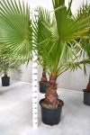 Washingtonia Robusta - h220 - Codice: 10265