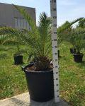 Phoenix Canariensis Palma delle Canarie Arecaceae in mastello 100Lt #10125