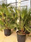 Chamaerops Humilis Palma Nana Sempreverde Arecaceae in vaso Ø28cm #10054