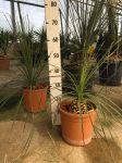 Palma Dasylirion Serratifolium Ruscaceae in vaso Ø28cm #10570
