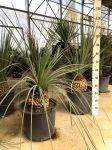 Palma Dasylirion Serratifolium Ruscaceae in mastello 35Lt #10575