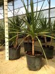 Pianta Monocotiledone Asparagaceae Cordyline Australis in mastelo Ø35cm #10550