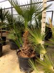Chamaerops Humilis Palma Nana Sempreverde Arecaceae in mastello 30Lt #10055