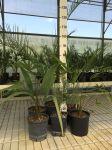 Kit Misti 6 Piante da giardino Mix di piante Palme Sempreverdi con Dioon Edule #10100