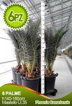 6 pz Palma Canarie in Bancale, h150cm Vaso Lt 35 Phoenix Canariensis #10120-6E