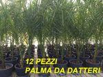 PALMA DELLE CANARIE DA DATTERI Phoenix Dactylifera  12PEZZI H.60/80cm Vaso D.16cm #10800-12A