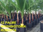 PALMA Washingtonia Robusta - h50-80cm CF 12 PEZZI, PALMA Sempreverde #10250-12