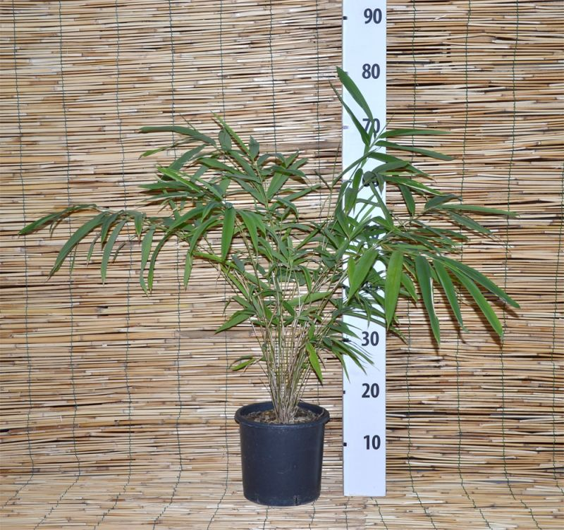Bamboo fargesia fungosa vaso for Bambu in vaso acqua