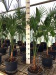 Trachycarpus fortunei Palma del Giappone delle Arecaceae in vaso Ø18cm #10010