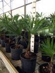 Trachycarpus fortunei Palma del Giappone delle Arecaceae in vaso Ø20cm #10020