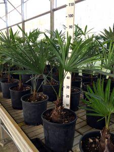 Trachycarpus fortunei Arecaceae Japan Palm Pot Ø20cm #10020