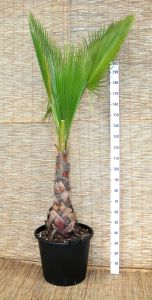 Washingtonia Robusta - h200-230cm - Pot 70Lt - Code: 10260