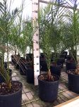 Phoenix Canariensis Canary Island Palm Tree Arecaceae Ø20cm pot #10105