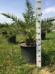 Phoenix Canariensis Palma delle Canarie Arecaceae in mastello 50Lt #10120