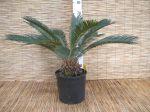 Pianta Cycas Revoluta Cycadaceae h90-110cm #10355