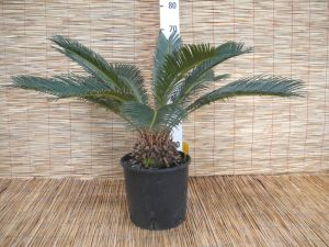 Cycas Revoluta Plant h90-110cm Cycadaceae #10355
