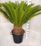 Palma Cycas Revoluta Cycadaceae h110-130cm #10360