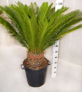Cycadaceae Cycas Revoluta Palm h110-130cm #10360