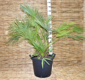 Chamaerops Humilis Palm Nana Evergreen Arecaceae reaches 35Lt bucket #10057