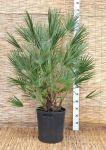 Chamaerops Humilis Palma Nana Sempreverde Arecaceae in mastello 50Lt #10058