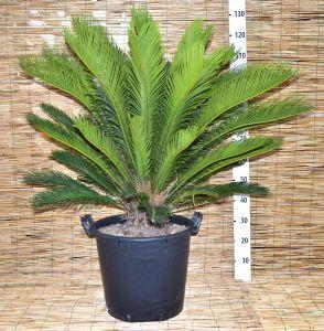 Cycas Revoluta - h120cm - Pot D.35cm - Code: 10358