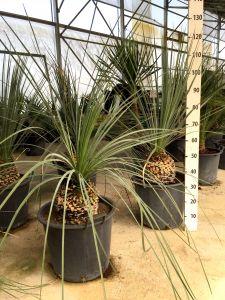 Dasylirion Serratifolium Ruscaceae Palm 35Lt bucket #10575