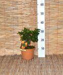Chinotto Agrumi - Vaso D.15 cm - Codice: 20650