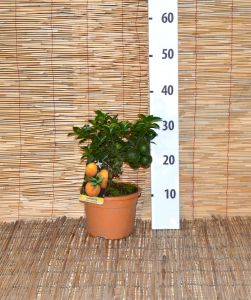 Chinotto Citrus - Pot D.15 cm - Code: 20650