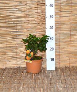 Chinotto Fruit tree in pot Ø15cm Citrus Myrtifolia #20650