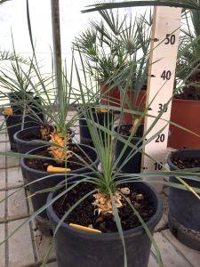Yucca Rigida Rostrata in vaso Ø18cm #10590