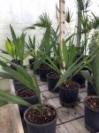 Sabal Minor Palm medium sized pot Ø20cm #10750