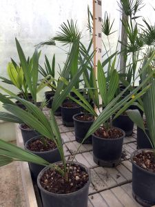 Sabal Minor Palm medium sized pot Ø20cm #10750