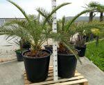 2 Palme Phoenix Canariensis PALMA DELLE CANARIE in Mastello da 100Lt #10125-2