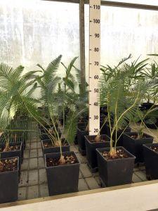 Pianta Dioon Edule Zamiaceae Messico e America Centrale in vaso Ø18cm #10380