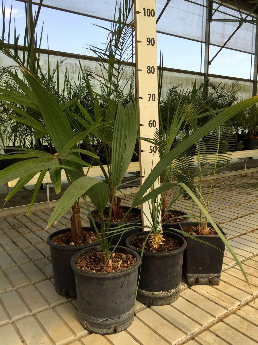 Piante Da Frutto Sempreverdi kit misti 6 piante da giardino mix di piante palme