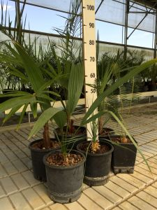 Mixed kit with 6 garden plants Palm Evergreen Plants Mix with Yucca #10101