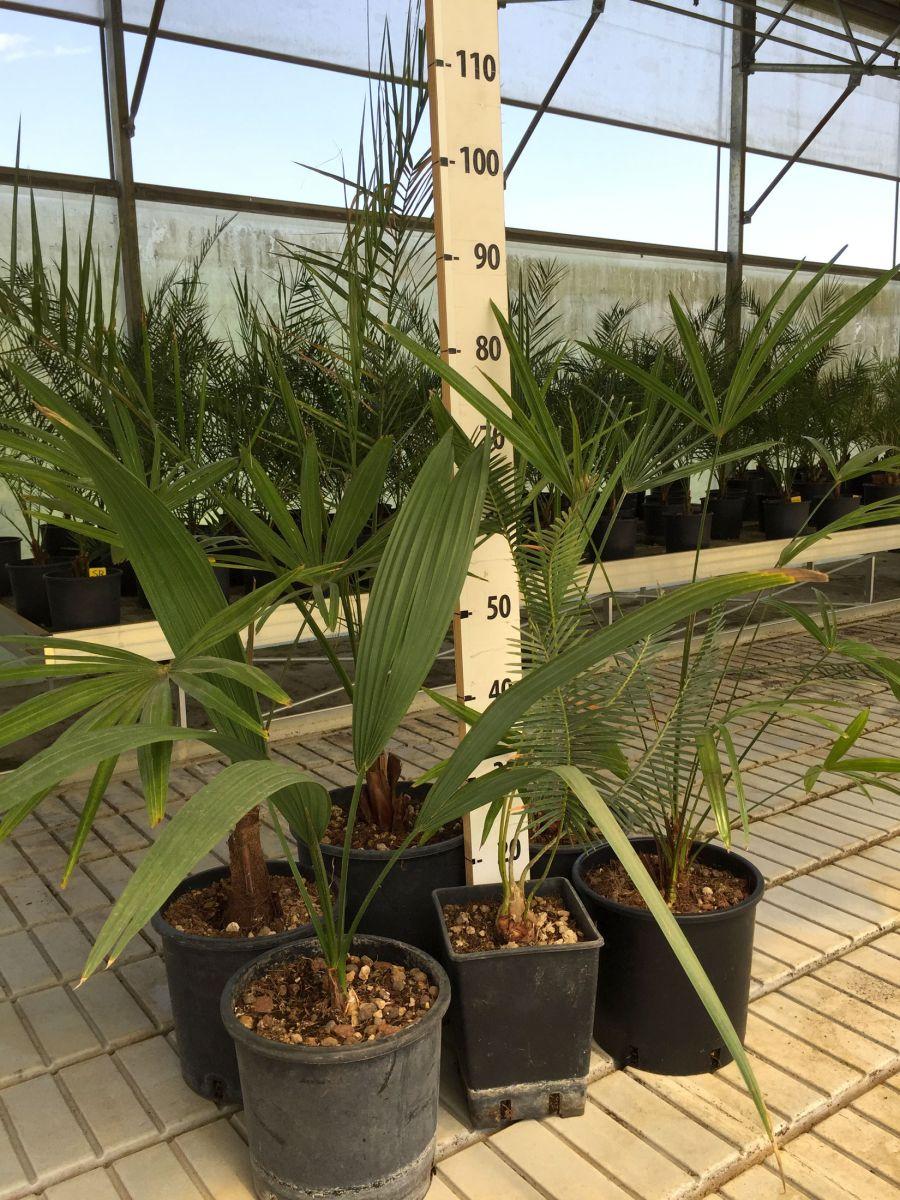 Foto Di Piante Sempreverdi kit misti 6 piante da giardino mix di piante palme