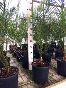 Phoenix Canariensis Canary Island Palm Tree Arecaceae 6pcs Ø20cm pot #10105-6
