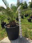 Palma da Giardino Arecaceae Phoenix Canariensis in mastello 100Lt #10125D
