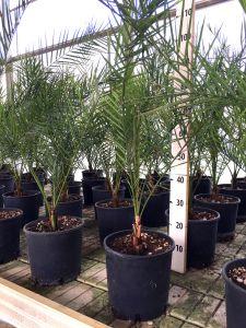 Phoenix Canariensis Palma delle Canarie Arecaceae da 40 pezzi in vaso Ø20cm #10105-40