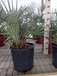 Chamaerops Humilis Cerifera from Atlas of Morocco Ø28cm pot #10080