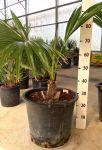 Palma Robusta Arecaceae Livistona Chinensis fino a 6,2mt #10651