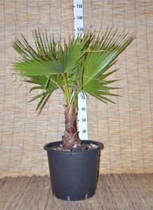 Washingtonia Robusta - h115-130cm - Codice: 10258