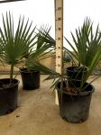 Sabal Palmetto Bahamas and Cuba Palm of Arecaceae 30Lt bucket #10705