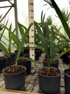 Sabal Minor Palm of average size of 6 pieces in vase Ø20cm #10750-6